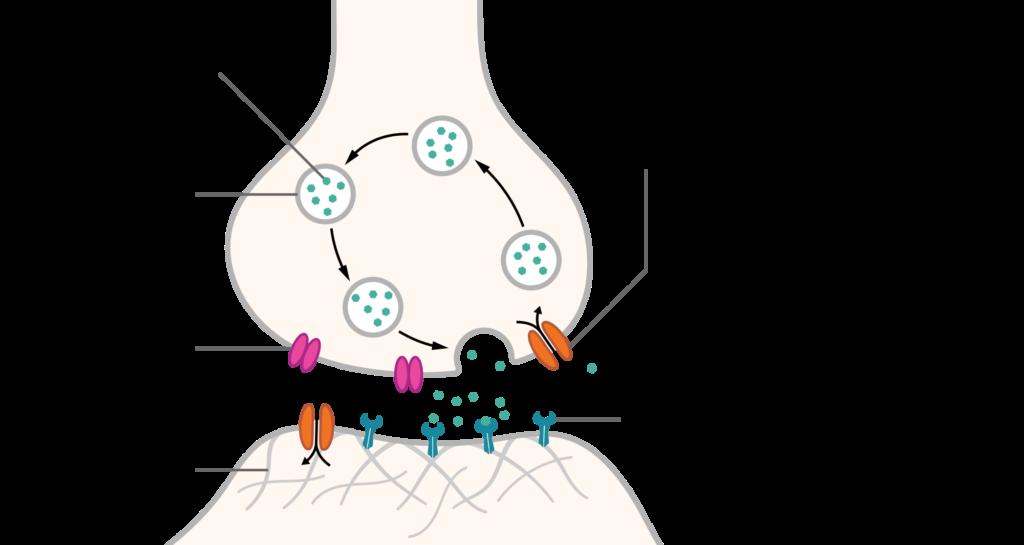 SynapseSchematic_en.svg
