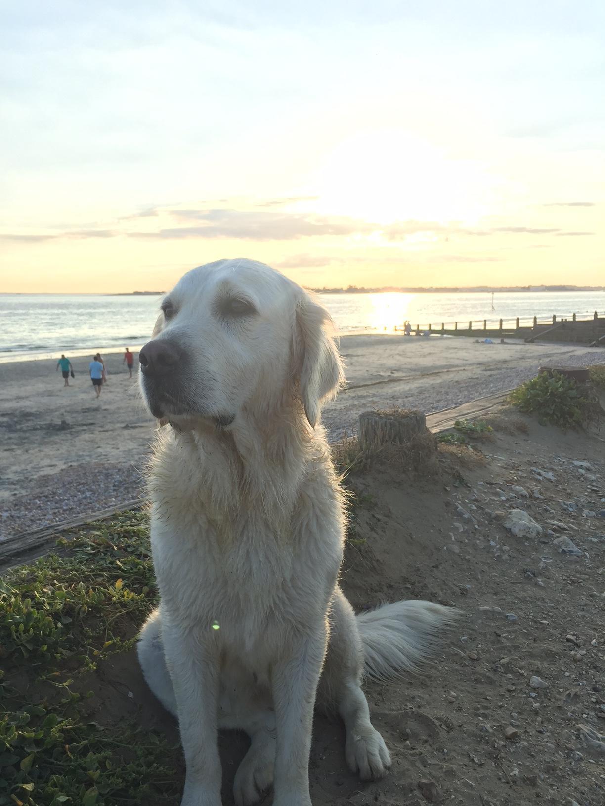 A Golden retriever on the beach in Surrey