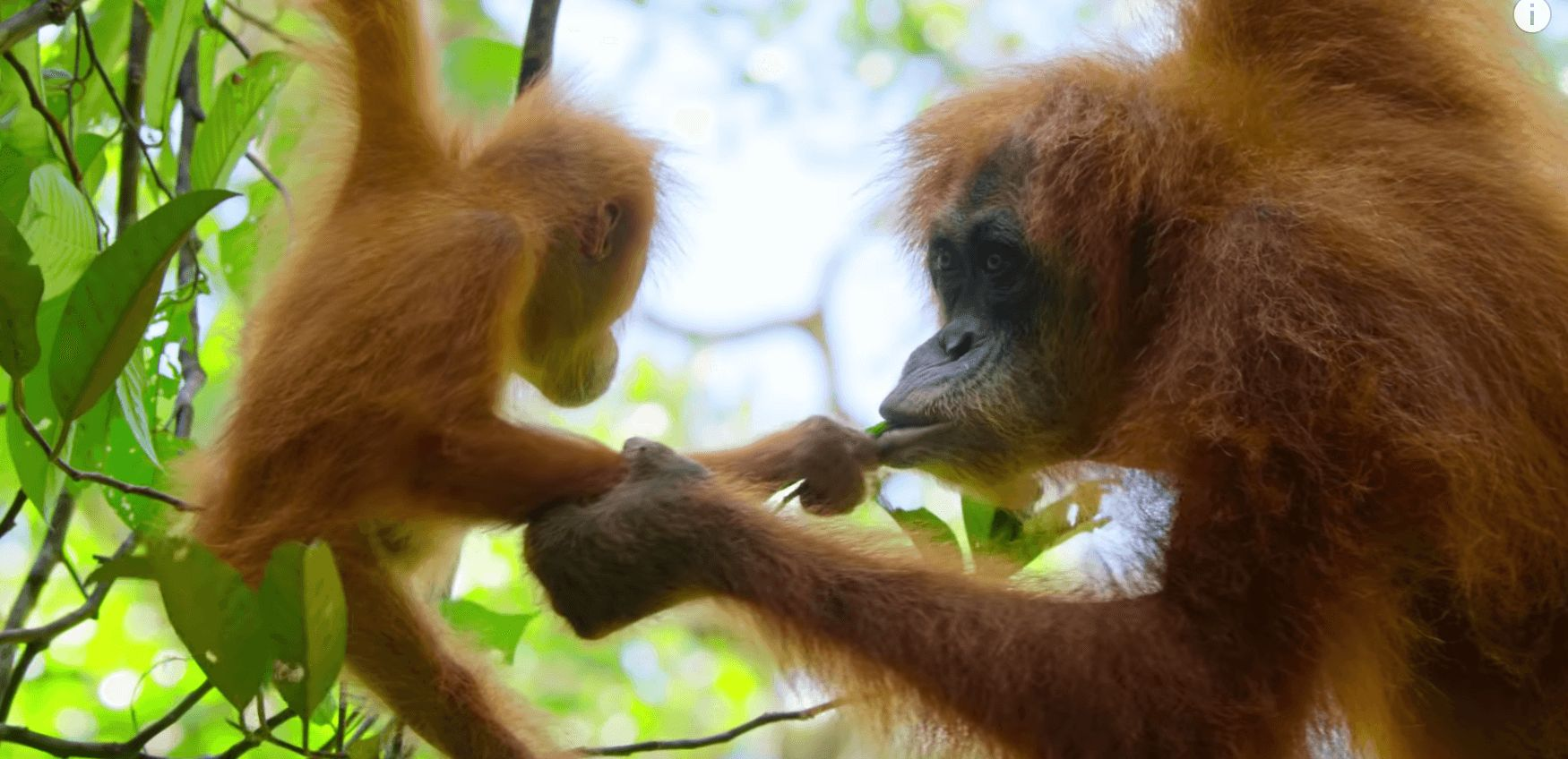 Image may contain: David Attenborough Netflix series, David Attenborough, Netflix, Our Planet, series, trailer,  Ape, Monkey, Mammal, Animal, Orangutan, Wildlife