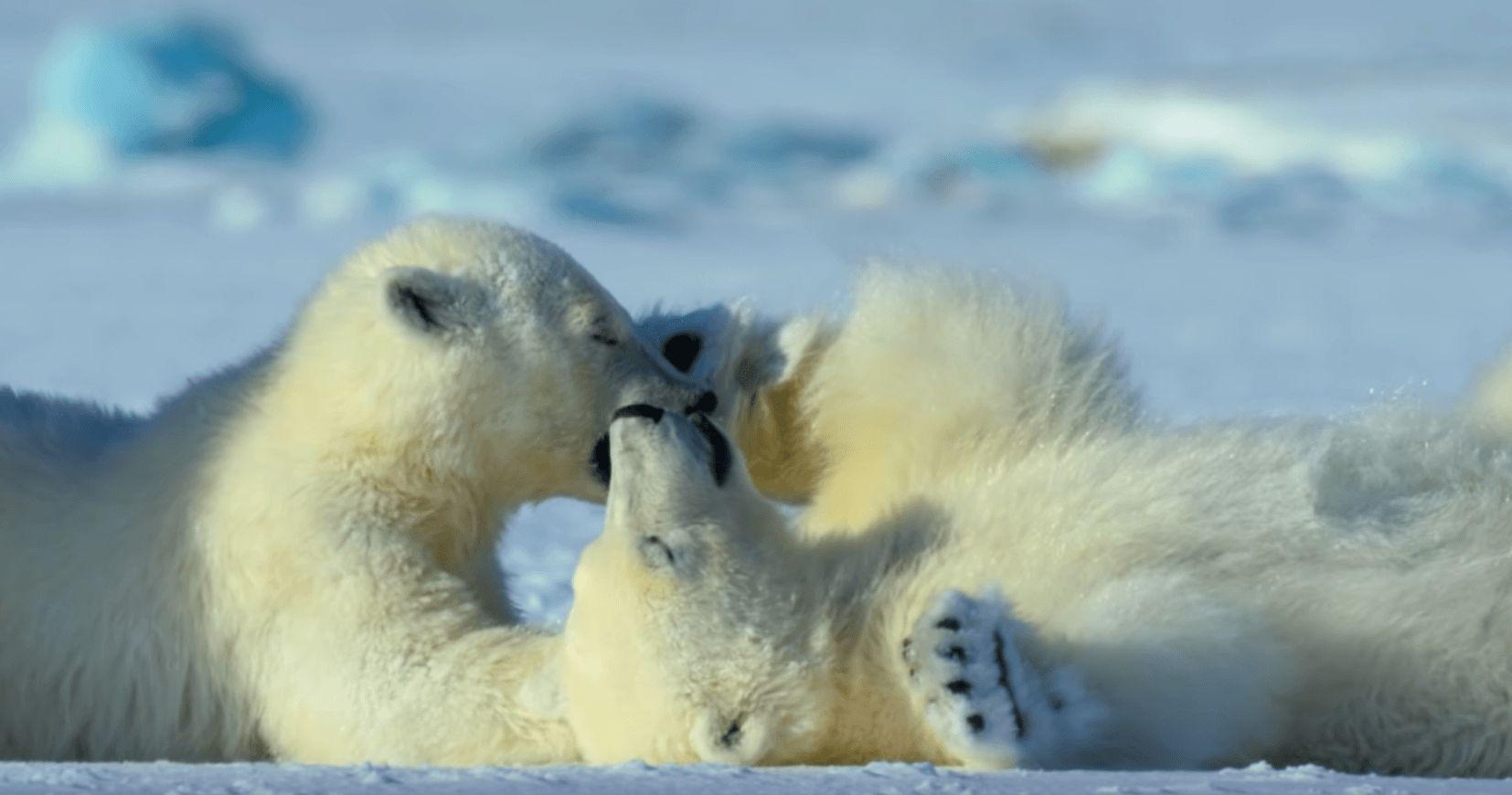 Image may contain: David Attenborough Netflix series, David Attenborough, Netflix, Our Planet, release date, trailer, Mammal, Wildlife, Animal, Bear, Polar Bear