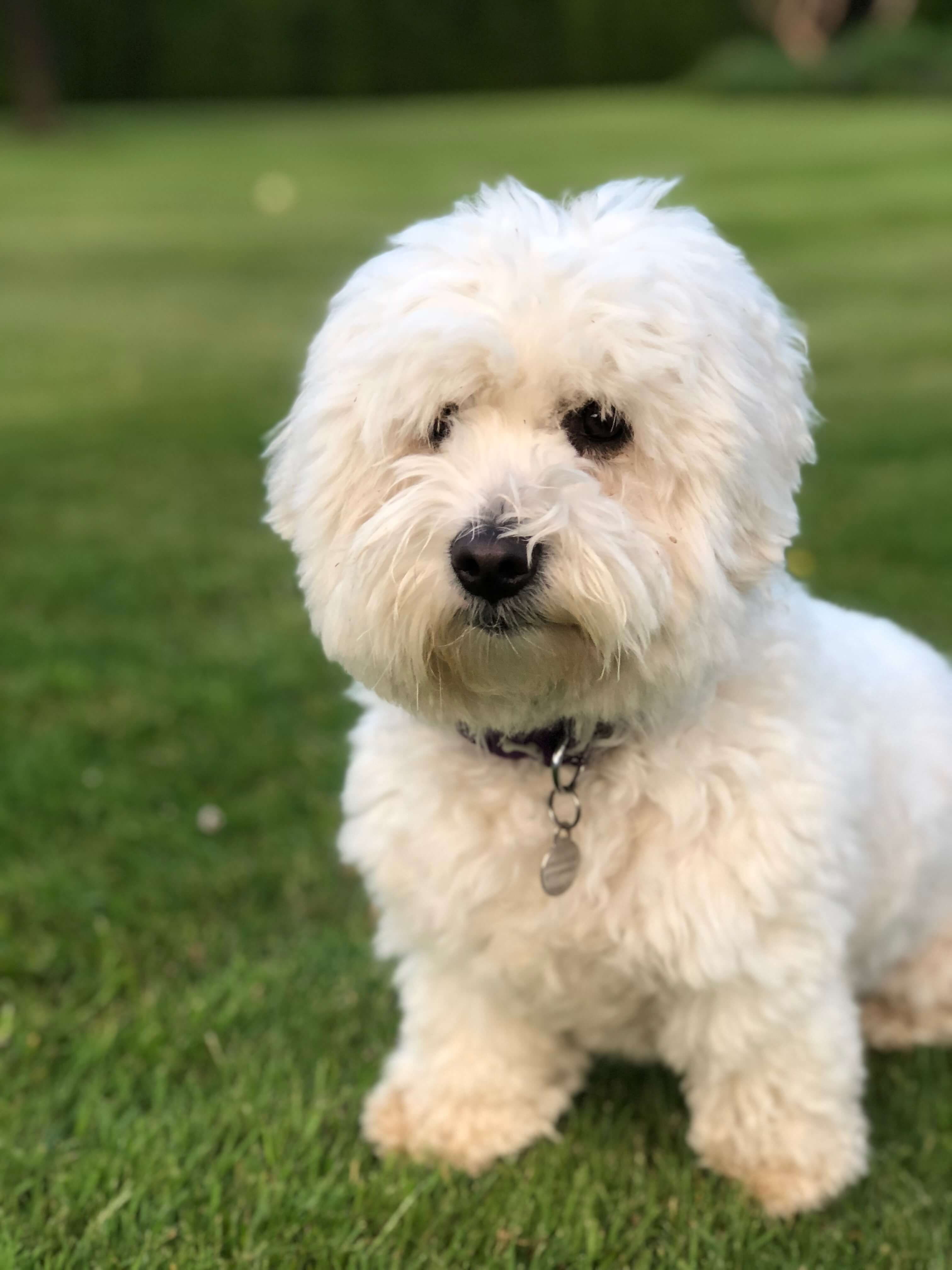Image may contain: Lawn, Poodle, Terrier, Grass, Plant, Dog, Mammal, Pet, Animal, Canine