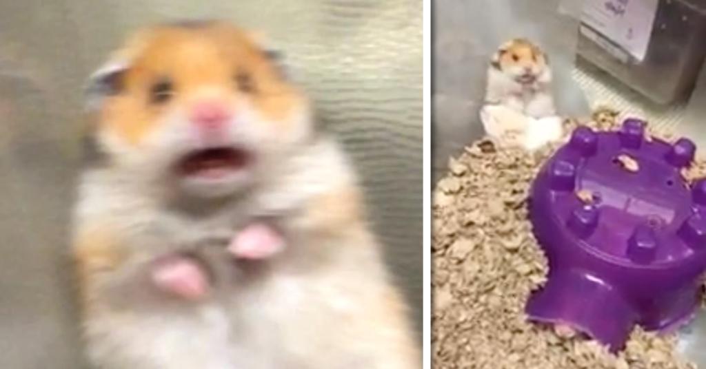 scared hamster meme