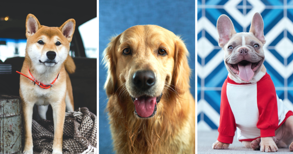 dog breed quiz, labrador, shiba, french bulldog