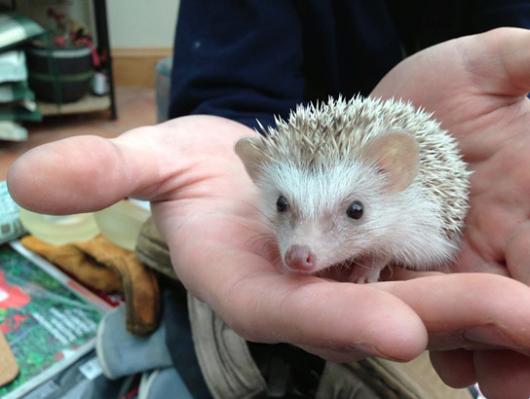 hedgehog-530x399