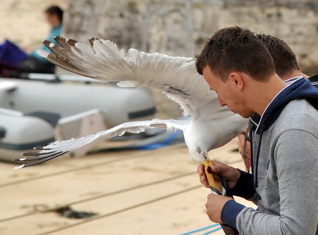 SWNS_STIVES_SEAGULLS_08
