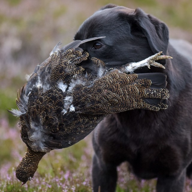 A labrador is pictured with a caught grouse on a shoot near Glenclova, Scotland on August 12 2015. Known as the Glorious Twelfth, today marks the beginning of the Grouse hunting season. A shooting party took to the hills surrounding Glenclova in what's thought to be a bad season for Grouse hunting.