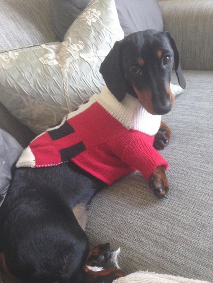 This is Sandy the short-haired Dachshund